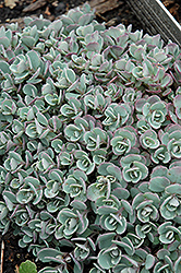 Japanese Stonecrop (Sedum cauticola) at Van Atta's Greenhouse