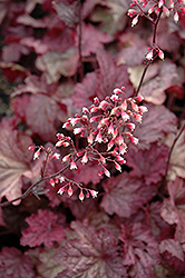 Berry Smoothie Coral Bells (Heuchera 'Berry Smoothie') at Van Atta's Greenhouse