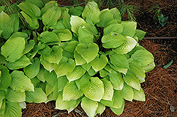 Fire Island Hosta (Hosta 'Fire Island') at Van Atta's Greenhouse