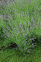 Essence Purple Lavender (Lavandula angustifolia 'Essence Purple') at Van Atta's Greenhouse