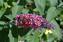 Bicolor Butterfly Bush (Buddleia x weyeriana 'Bicolor') at Van Atta's Greenhouse