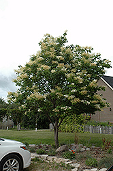 Japanese Tree Lilac (Syringa reticulata) at Van Atta's Greenhouse