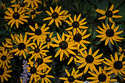 Little Goldstar Coneflower (Rudbeckia fulgida 'Little Goldstar') at Van Atta's Greenhouse