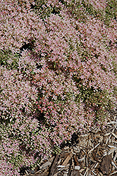 Rock 'N Grow® Pure Joy Stonecrop (Sedum 'Pure Joy') at Van Atta's Greenhouse