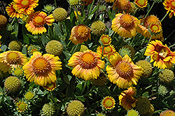 Arizona Apricot Blanket Flower (Gaillardia x grandiflora 'Arizona Apricot') at Van Atta's Greenhouse