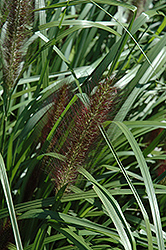 Red Head Fountain Grass (Pennisetum alopecuroides 'Red Head') at Van Atta's Greenhouse