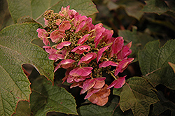 Ruby Slippers Hydrangea (Hydrangea quercifolia 'Ruby Slippers') at Van Atta's Greenhouse