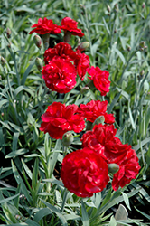 Early Bird™ Radiance Pinks (Dianthus 'Wp08 Mar05') at Van Atta's Greenhouse