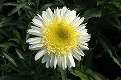 Real Dream Shasta Daisy (Leucanthemum x superbum 'Real Dream') at Van Atta's Greenhouse