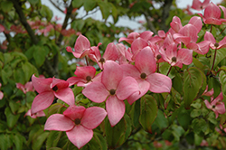 Red Flowering Dogwood (Cornus florida 'var. rubra') at Van Atta's Greenhouse