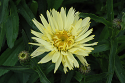 Goldfinch Shasta Daisy (Leucanthemum x superbum 'Goldfinch') at Van Atta's Greenhouse