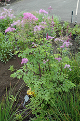 Black Stockings Meadow Rue (Thalictrum 'Black Stockings') at Van Atta's Greenhouse