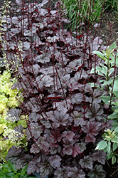 Plum Pudding Coral Bells (Heuchera 'Plum Pudding') at Van Atta's Greenhouse