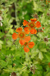 Sunkissed Lime Avens (Geum 'Sunkissed Lime') at Van Atta's Greenhouse