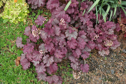 Sugar Berry Coral Bells (Heuchera 'Sugar Berry') at Van Atta's Greenhouse