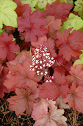 Fire Alarm Coral Bells (Heuchera 'Fire Alarm') at Van Atta's Greenhouse