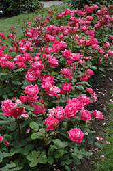 Double Knock Out® Rose (Rosa 'Radtko') at Van Atta's Greenhouse