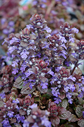 Bronze Beauty Bugleweed (Ajuga reptans 'Bronze Beauty') at Van Atta's Greenhouse