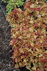 Caramel Coral Bells (Heuchera 'Caramel') at Van Atta's Greenhouse