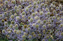 Blue Glitter Sea Holly (Eryngium planum 'Blue Glitter') at Van Atta's Greenhouse