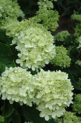 Little Lime® Hydrangea (Hydrangea paniculata 'Jane') at Van Atta's Greenhouse