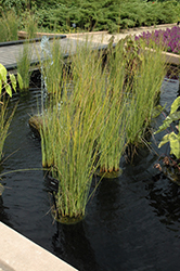 Javelin Rush (Juncus pallidus 'Javelin') at Van Atta's Greenhouse
