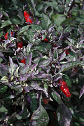 Calico Ornamental Pepper (Capsicum annuum 'Calico') at Van Atta's Greenhouse