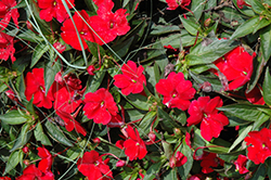SunPatiens® Compact Red New Guinea Impatiens (Impatiens 'SunPatiens Compact Red') at Van Atta's Greenhouse