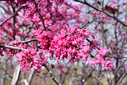 Appalachian Red Redbud (Cercis canadensis 'Appalachian Red') at Van Atta's Greenhouse