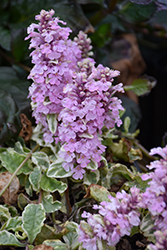 Pink Lightning Bugleweed (Ajuga reptans 'Pink Lightning') at Van Atta's Greenhouse