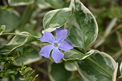 Variegated Periwinkle (Vinca major 'Variegata') at Van Atta's Greenhouse
