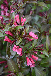 Shining Sensation™ Weigela (Weigela florida 'Bokrashine') at Van Atta's Greenhouse