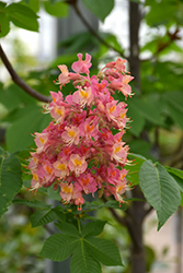 Fort McNair Red Horse Chestnut (Aesculus x carnea 'Fort McNair') at Van Atta's Greenhouse