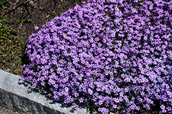 Purple Beauty Moss Phlox (Phlox subulata 'Purple Beauty') at Van Atta's Greenhouse