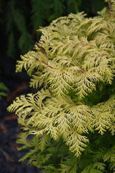 Cripps Gold Falsecypress (Chamaecyparis obtusa 'Crippsii') at Van Atta's Greenhouse