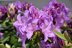 Boursault Rhododendron (Rhododendron catawbiense 'Boursault') at Van Atta's Greenhouse