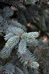 Hoopsii Blue Spruce (Picea pungens 'Hoopsii') at Van Atta's Greenhouse