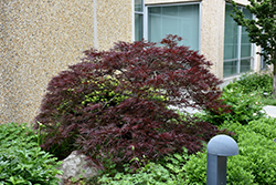 Red Dragon Japanese Maple (Acer palmatum 'Red Dragon') at Van Atta's Greenhouse