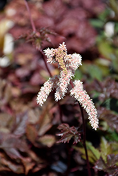 Chocolate Shogun Astilbe (Astilbe x arendsii 'Chocolate Shogun') at Van Atta's Greenhouse