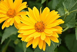 Venus False Sunflower (Heliopsis helianthoides 'Venus') at Van Atta's Greenhouse