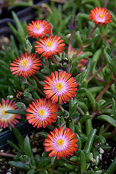 Jewel Of Desert Grenade Ice Plant (Delosperma 'Jewel Of Desert Grenade') at Van Atta's Greenhouse
