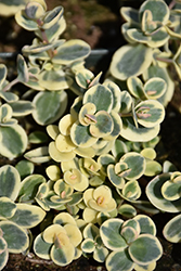 Lime Twister Stonecrop (Sedum 'Lime Twister') at Van Atta's Greenhouse