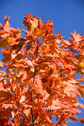Commemoration Sugar Maple (Acer saccharum 'Commemoration') at Van Atta's Greenhouse