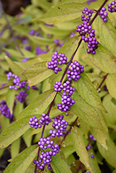 Early Amethyst Beautyberry (Callicarpa dichotoma 'Early Amethyst') at Van Atta's Greenhouse