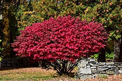 Winged Burning Bush (Euonymus alatus) at Van Atta's Greenhouse