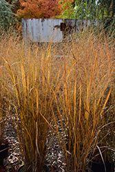 Northwind Switch Grass (Panicum virgatum 'Northwind') at Van Atta's Greenhouse