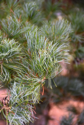Blue Japanese Pine (Pinus parviflora 'Glauca') at Van Atta's Greenhouse