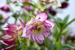 Peppermint Ice Hellebore (Helleborus 'Peppermint Ice') at Van Atta's Greenhouse