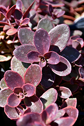 Wildfire Stonecrop (Sedum 'Wildfire') at Van Atta's Greenhouse