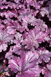 Forever® Purple Coral Bells (Heuchera 'Forever Purple') at Van Atta's Greenhouse
